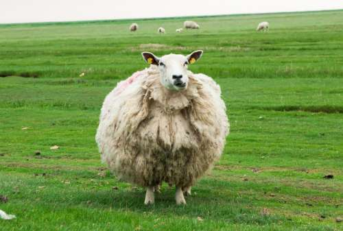 Sheep Wool Animal Agriculture Nature Landscape