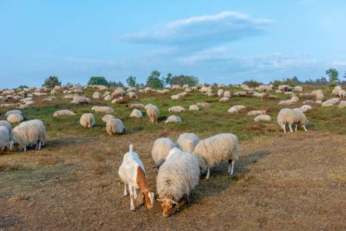 Sheep Herd Heide Cattle Landscape Nature Browser