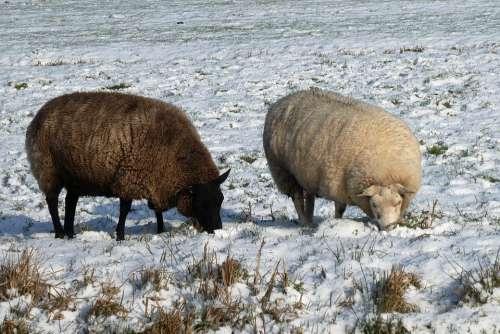 Sheep Winter Pasture Wool Mammal Snow Landscape