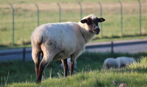 Sheep Animal Wool Nature Livestock