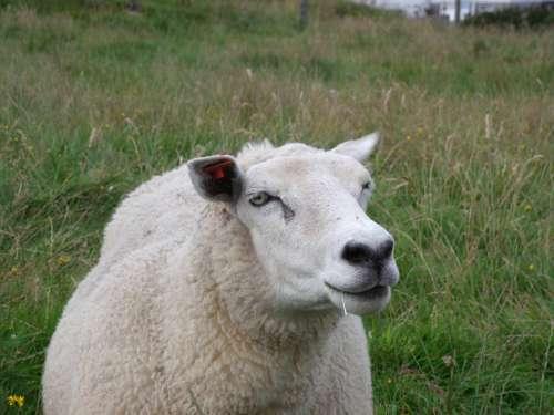 Sheep Norway Prato