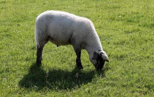 Sheep Deichschaf Schäfchen Wool Agriculture Graze