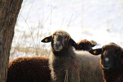 Sheep Animals Sheep Face Black Sheep