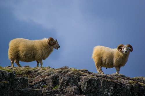 Sheeps Mountain Nature Animal Landscape Rural Sky