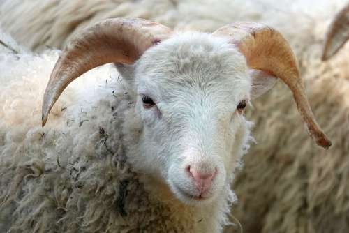 Sheepshead Sheep Wool Close Up Animal Portrait