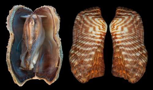 Shell Arc Clam Arca Zebra Turkey Wing Bivalve