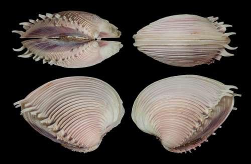 Shell Seashell Clam Elegant Venus Mollusk Spines