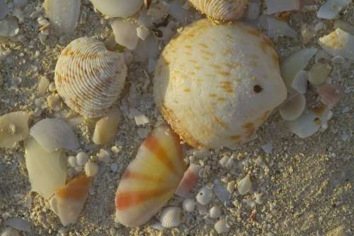 Shells Beach Sea Ocean Sand South Seas Pearl