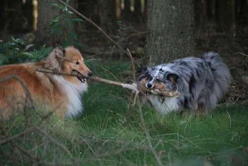 Shelties Dogs Shetland Sheep Dog