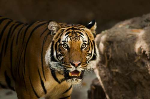 Siberian Tiger Tiger Siberian Close Up