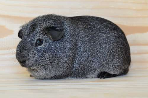 Silver Guinea Pig Smooth Hair Pet Rodent Animal