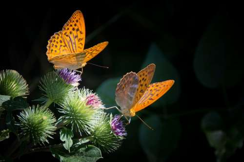 Silver-Bordered Fritillary Butterfly Nature Orange