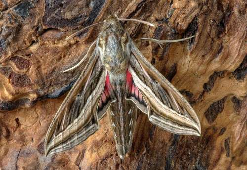 Silver Striped Hawkmoth Moth Entomology Wings