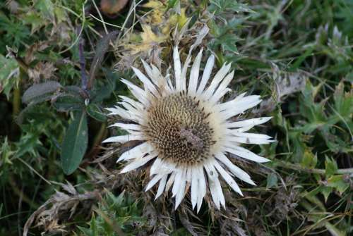 Silver Thistle Thistle Flower Blossom Bloom