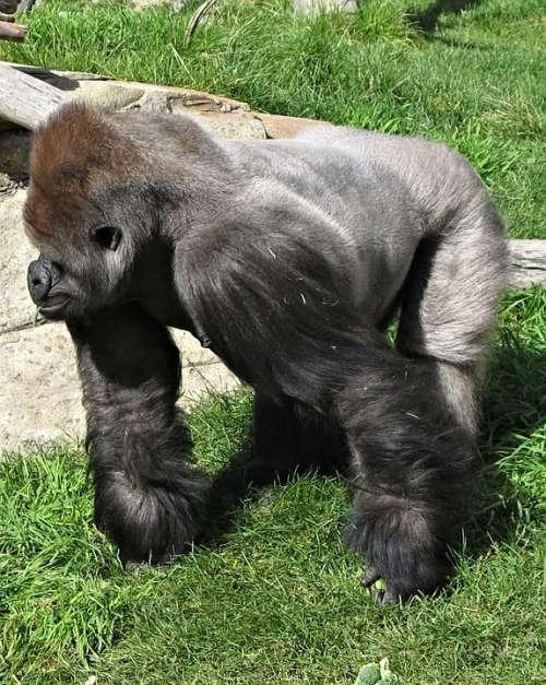 Silverback Gorilla Calgary Zoo Canada Ape Primate