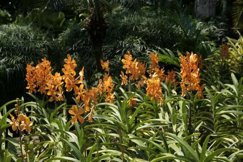 Singapore Orchids Flowers Tropical Blossom Bloom