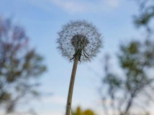Sky Dandelion Plant Nature Summer Flower Seeds