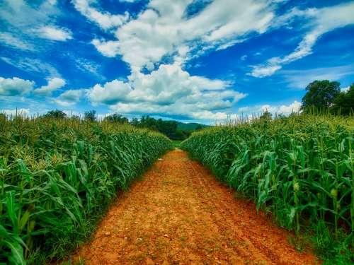 Sky Clouds Corn Cornfield Path Trail Agriculture