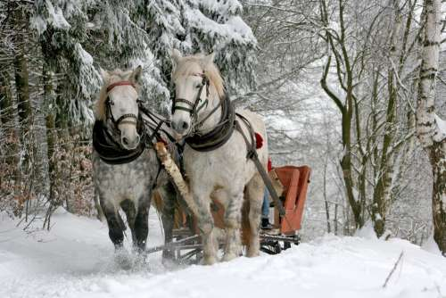 Sleigh Ride Horses Winter Snow Forest Horse White