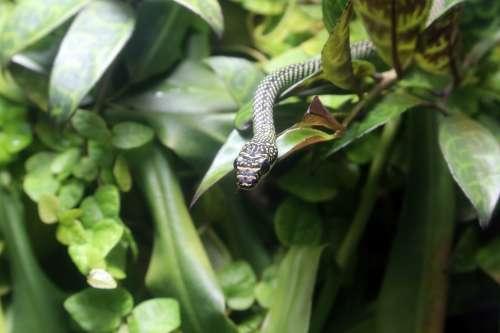 Snake Reptile Animal Nature Green Jungle Head