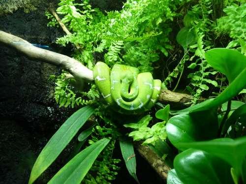 Snake Green Tree Python Reptile Jungle Toxic