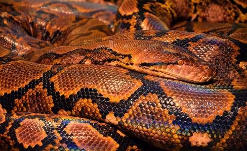 Snake Python Reptile Animal Snake Skin Browm