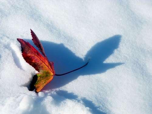 Snow Red Maple Leaf