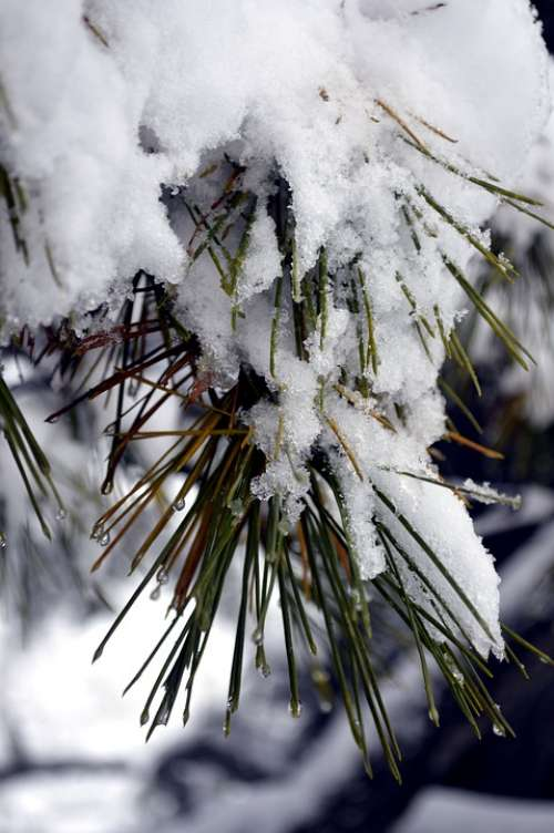 Snow Pine Winter Cold Seasonal