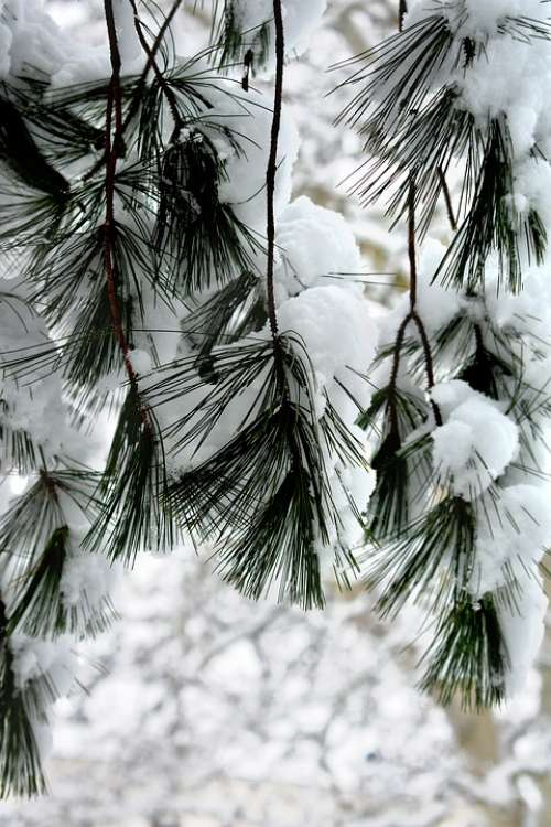 Snow Winter Needles Nature Trees Tree White