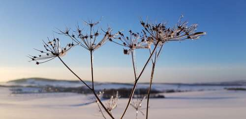 Snow Flower Winter Plant Cold Close Up Frost