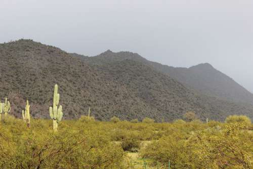 Snow Desert Saguaro Cactus Weather Landscape