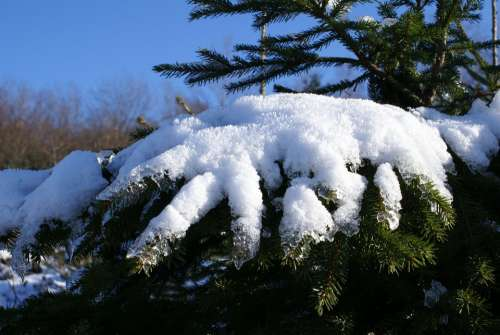 Snow Fir Tree Winter Spruce Tree Snowy