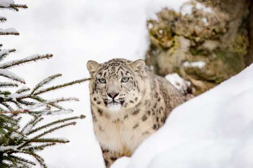 Snow Leopard Leopard Big Cat Snow Winter Zoo