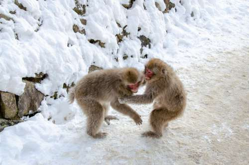 Snow Monkey Japanese Macaque Japan Winter Wildlife