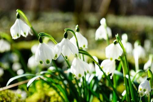Snowflake Flower Blossom Bloom White Forest