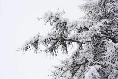Snowy Forest Nature Winter