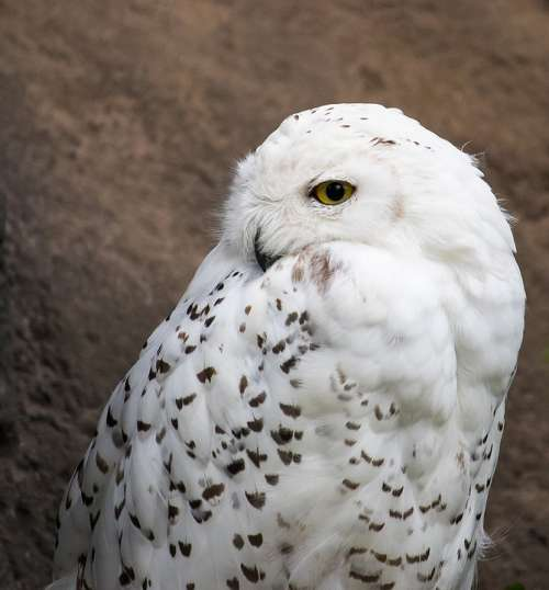 Snowy Owl Owl Animal Animal World Nature White