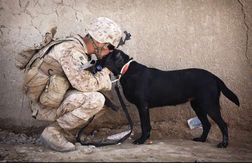 Soldier Dog Companion Service Military Canine