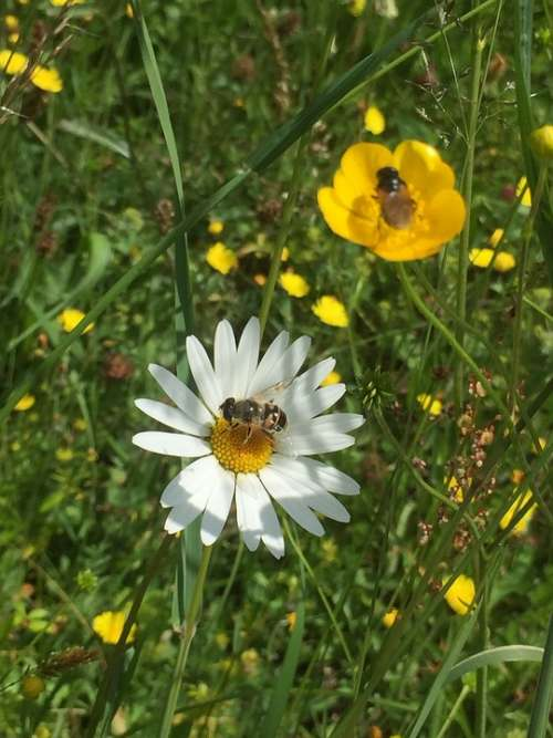 Sommer Blumen Insert Wiese Flower Insects Green