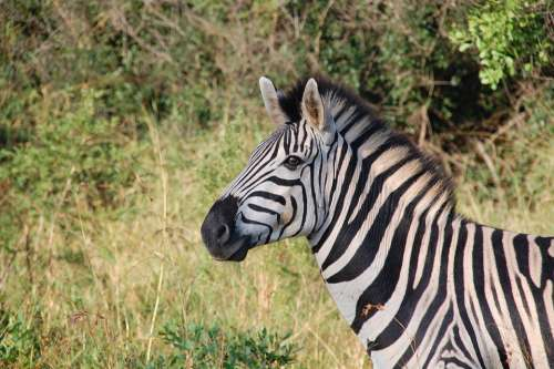 South Africa Wild Nature Wildlife Animals Zebra