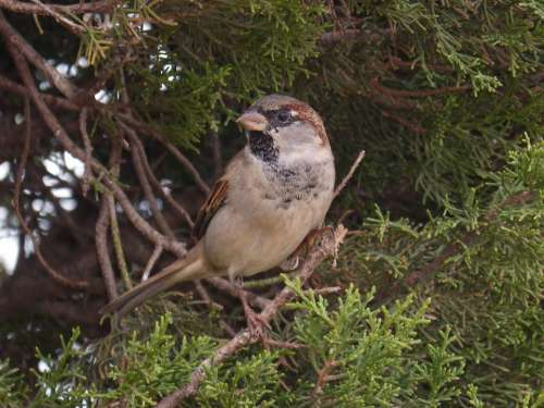 Sparrow Seto Bird Landed Plumage