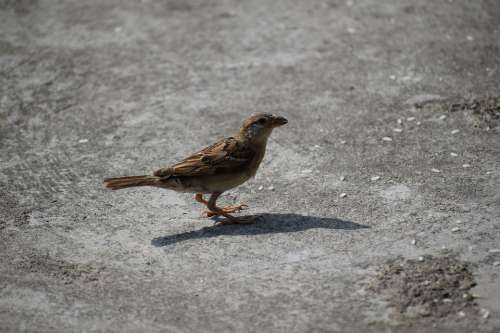 Sparrow Bird Nature Sperling Plumage Animal