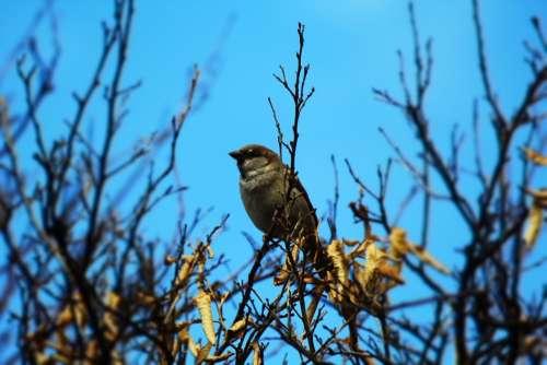 Sparrow Male Trees Iraq