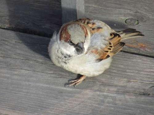 Sperling Sparrow Bird House Sparrow