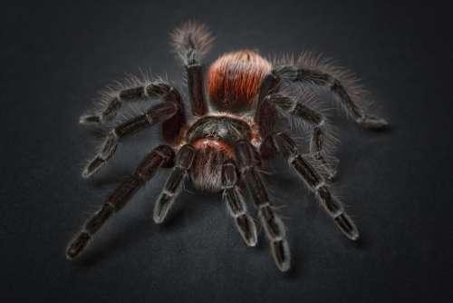 Spider Tarantula Arachnophobia Insect Hairy Macro
