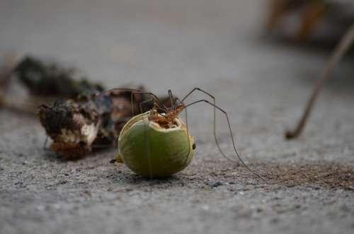 Spider Long Leg Eating Fall Nut Bite Fang
