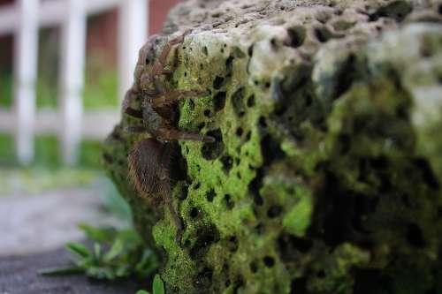 Spider Tarantula Hairy Insects Arachnophobia
