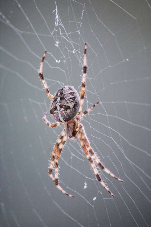 Spider Araneus Cobweb Close Up Nature Animal Web