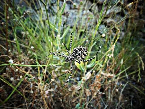 Spider Tiger Wasp Spider Spider Araneomorfa Argiope