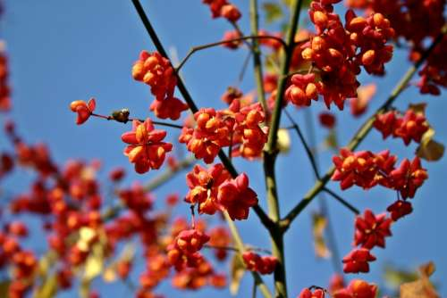 Spindle Tree Fortunei Ordinary Pfaff Copings